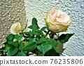 玫瑰花 玫瑰 植物 76235806