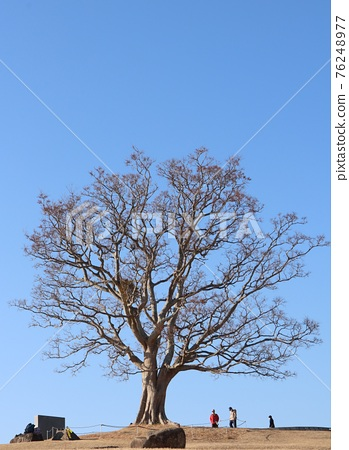 Blue sky and a strong big tree 76248977