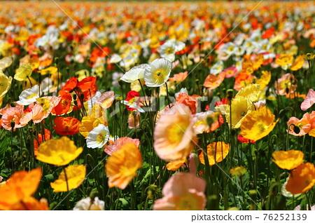 罌粟花 花朵 花 76252139