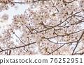 벚꽃,한국 76252951