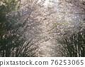 벚꽃,경의선숲길,마포구,서울 76253065