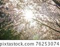 벚꽃,경의선숲길,마포구,서울 76253074