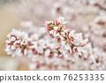 앵두꽃,앵두나무,한국 76253335