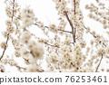 살구꽃,살구나무,한국 76253461