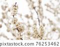 살구꽃,살구나무,한국 76253462