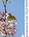 繡眼鳥 櫻花 開花 76259060
