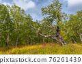 Kamchatka stone birch old tree 76261439