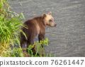 Brown bear cub in river 76261447