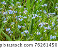 Forget me not - spring blue flowers 76261450