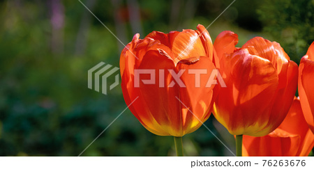 red tulips in the garden postcard. blooming flowers on a sunny day in spring. beautiful nature background. celebration concept 76263676