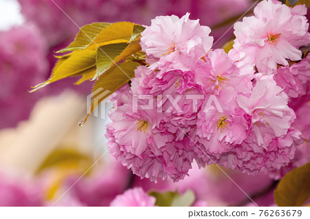 blooming pink flowers of sakura. cherry blossom season in springtime. close up nature background 76263679