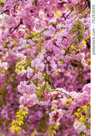 pink blossoming sakura tree. blooming cherry flowers on the branch in springtime. close up botanical background 76263680