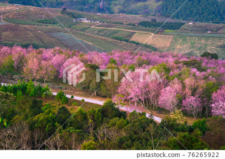 Wild Himakayan cherry trees or Cherry blossom field on phu lom lo mountain of Phu Hin Rong Kla national park in Loei, Thailand 76265922