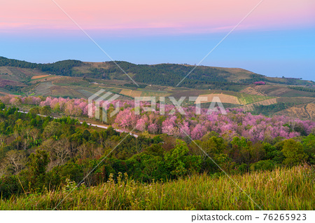 Wild Himakayan cherry trees or Cherry blossom field on phu lom lo mountain of Phu Hin Rong Kla national park in Loei, Thailand 76265923