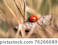 Seven spotted ladybug in the grass 76266689