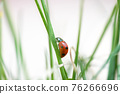 Seven spotted ladybug in the grass 76266696