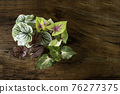 Many types of caladium with different leaf patterns and colors are placed on the wooden floor. 76277375