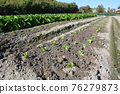 lettuce, lettuces, seeding 76279873