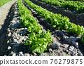 lettuce, lettuces, field 76279875