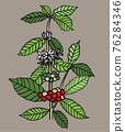 Freehand drawing of coffee tree include beans, leaves and flowers background. 76284346