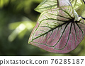 The pink leaves of the caladium, which have an unusual pattern 76285187