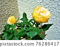 玫瑰 玫瑰花 植物 76286417