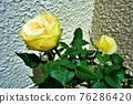 玫瑰 玫瑰花 植物 76286420