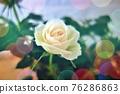 玫瑰 玫瑰花 花朵 76286863