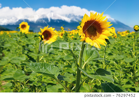 closeup of sunflower field in summer. blurred background of snow capped mountain ridge in the distance 76297452
