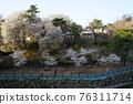 spring, Flower, cherry blossom 76311714