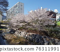 Flower, cherry blossom, Cherry Blossom 76311991