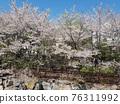 Flower, cherry blossom, Cherry Blossom 76311992