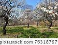 후추시 향토의 숲 박물관 매화 푸른 하늘 76318797