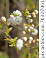 樹木:薔薇科 76327061