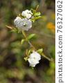 樹木:薔薇科 76327062
