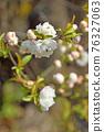 樹木:薔薇科 76327063