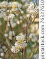 樹:Mitumata銀杏科 76327610