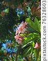 flower, flowers, plumeria 76328603