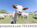 山羊 大農場 牧場 76329439