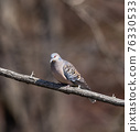 oriental turtle dove, rufous turtle dove, wild bird 76330533