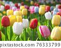 tulip 76333799