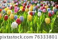 tulip 76333801
