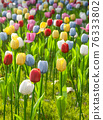 tulip 76333802