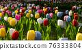 tulip 76333804