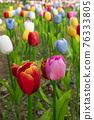 tulip 76333805