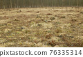 Stump planted planting oak growing newly new trees young seedling sapling making way wood larva, clear cut calamity wood, opening part hole floodplain forest wood plants, folded stem fence fencing 76335314