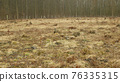 Stump planted planting oak growing newly new trees young seedling sapling making way wood larva, clear cut calamity wood, opening part hole floodplain forest wood plants, folded stem fence fencing 76335315