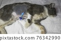 Postoperative wounds with a catheter in a young kitten. 76342990