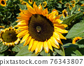 Close-up Sun Flower during sunny day 76343807