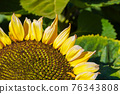 Close-up Sun Flower during sunny day 76343808